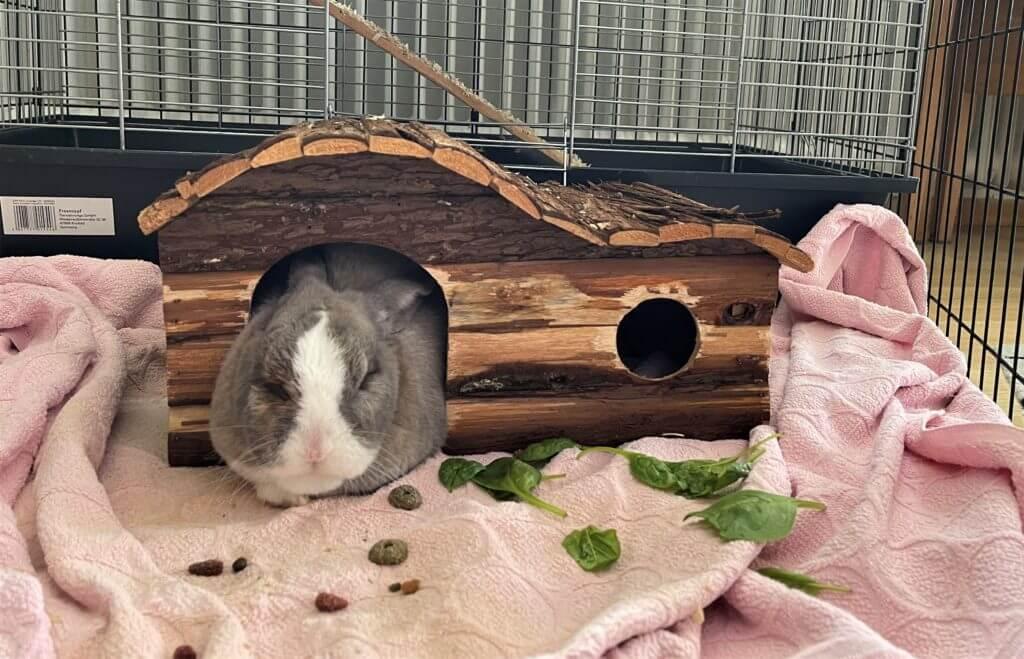 Ein weiß-graues Zwergkaninchen liegt schlafend in seinem Haus. Vor ihm liegen Leckerlis und Blattspinat.